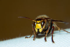 European hornet. Is a very large wasp Royalty Free Stock Photo