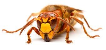European hornet, Vespa crabro Stock Images