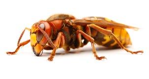 European hornet, Vespa crabro Stock Image