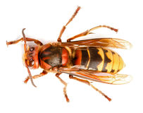 European hornet, Vespa crabro Stock Photo