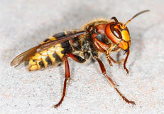 European hornet (Vespa crabro) Royalty Free Stock Photo
