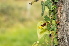 European hornet (vespa Crabro) flying to the nest Royalty Free Stock Photos