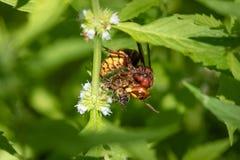European Hornet Vespa crabro with Honey Bee. European Hornet Vespa crabro preying on Honey Bee Apis mellifera Royalty Free Stock Image