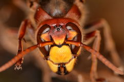 European hornet (Vespa crabro). In nature Stock Photos