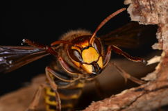 European hornet (Vespa crabro). In nature Royalty Free Stock Photo