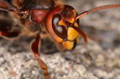 European hornet (Vespa crabro). In nature Stock Image