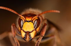 European hornet (Vespa crabro). In nature Royalty Free Stock Photography