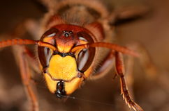 European hornet (Vespa crabro). In nature Royalty Free Stock Photos