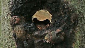 European hornet (Vespa crabro) stock video