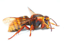 The European Hornet (Vespa crabro). Royalty Free Stock Images