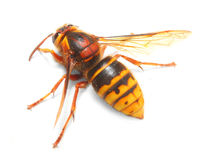 The European Hornet (Vespa crabro). Stock Photos