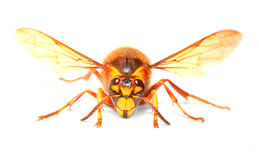 The European Hornet (Vespa crabro). Royalty Free Stock Image