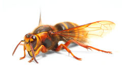 The European Hornet (Vespa crabro). Royalty Free Stock Photography