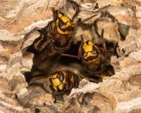 European Hornets Vespa Crabro Defending Hole In Nest Stock Photos