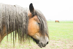 European horsed Royalty Free Stock Images