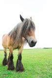 European horses Stock Image