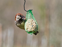 European house sparrow, Passer domesticus. Feeding in garden. Royalty Free Stock Image
