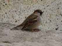 European house sparrow. On a rock Royalty Free Stock Photos
