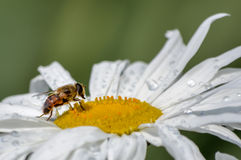 European Hoverfly. Eristalis tenax is a European hoverfly, also known as the drone fly or dronefly stock photography