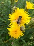 European hoverfly & x28;Eristalis tenax& x29; on a yellow flowerhead. Beautiful European hoverfly & x28;Eristalis tenax& x29; sitting on a yellow flowerhead in Royalty Free Stock Photo