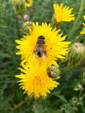 European hoverfly & x28;Eristalis tenax& x29; on a yellow flowerhead. Beautiful European hoverfly & x28;Eristalis tenax& x29; sitting on a yellow flowerhead in Royalty Free Stock Photos