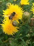 European hoverfly & x28;Eristalis tenax& x29; on a yellow flowerhead royalty free stock photo