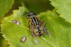 European hoverfly, helophilus pendulus. Mating Stock Photos