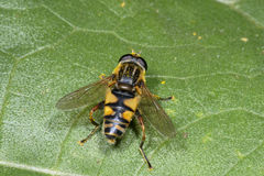 European hoverfly, helophilus pendulus Royalty Free Stock Photos