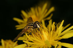 European hoverfly (Helophilus trivittatus) Royalty Free Stock Photos