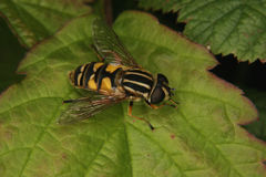 European hoverfly (Helophilus trivittatus) Stock Photo