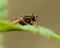 European hoverfly, Helophilus trivittatus Royalty Free Stock Photos