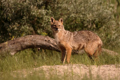 European jackal, Canis aureus moreoticus. Single mammal on grass, Romania, June 2016 royalty free stock photography