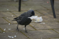European Jackdaw Royalty Free Stock Photo