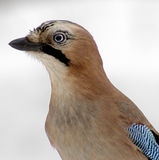 European jay Stock Images
