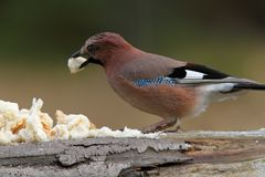 European jay attracted with bread Stock Image
