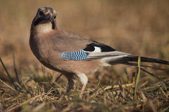 European jay bird (Garrulus glandarius) Royalty Free Stock Images