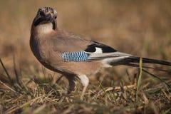 European jay bird (Garrulus glandarius) Royalty Free Stock Images