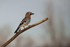 European jay (Garrulus glandarius) Stock Photo