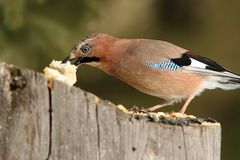 European jay grabbing a piece of bread Stock Images