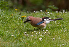 European Jay Stock Photos