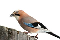 European jay isolated on white Royalty Free Stock Photo