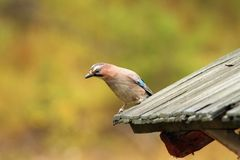 European jay on old roof Stock Images