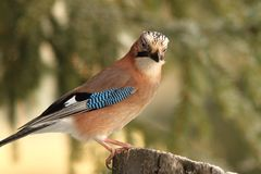 European jay standing on stump Royalty Free Stock Photography