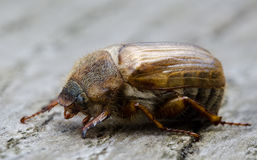 European june beetle Royalty Free Stock Images