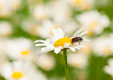 European june beetle on ox-eye daisy Stock Image
