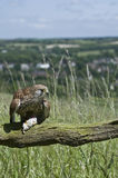 European Kestrel Stock Image