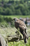 European Kestrel Royalty Free Stock Photography