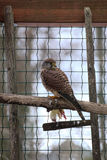 A European kestrel (Falco tinnunculus) with dead chick Royalty Free Stock Photos