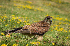 European Kestrel Royalty Free Stock Images