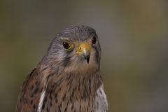 European Kestrel Royalty Free Stock Photos